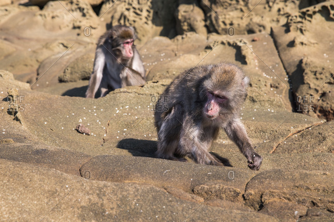 Barbary macaque monkies climbing on rocks