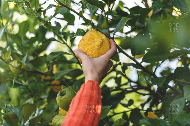 Hand reaching for a lemon