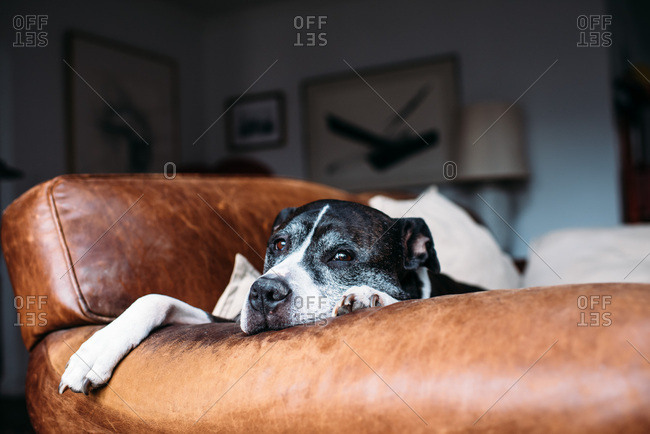 Black and white pit bull lying on leather couch.