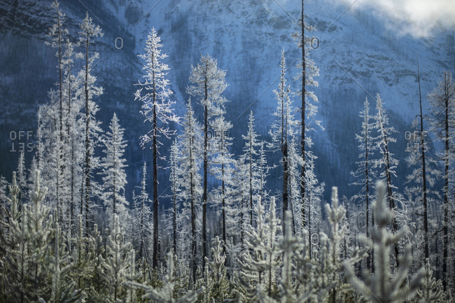 Snow covered forest trees below mountain, Marble Canyon, Alberta, Canada