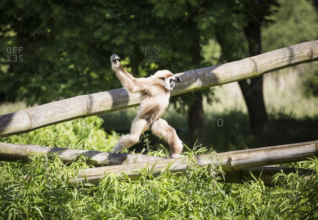 Monkey running on bamboo in sunny zoo