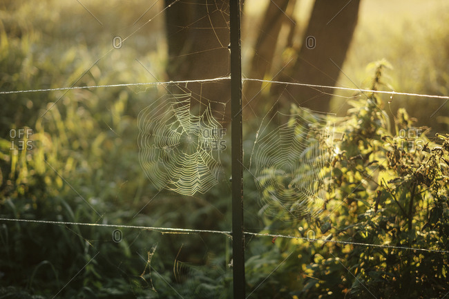 Intricate spiderwebs forming on rural fence