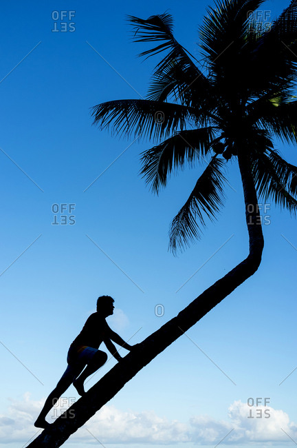 Silhouette of a man climbing coconut palm tree trunk