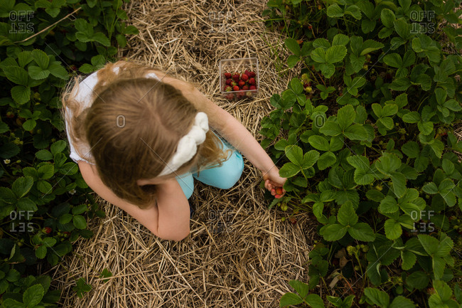 Overhead view of little girl picking strawberries