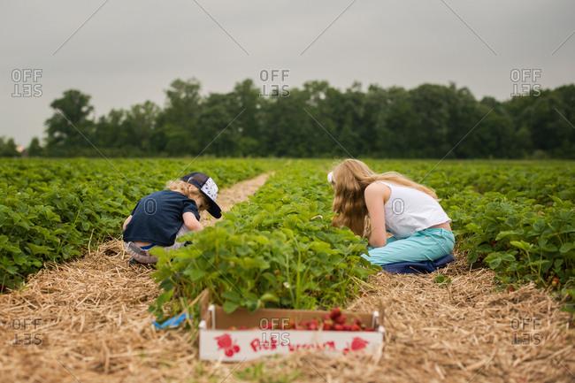 Two kids picking strawberries under gray skies
