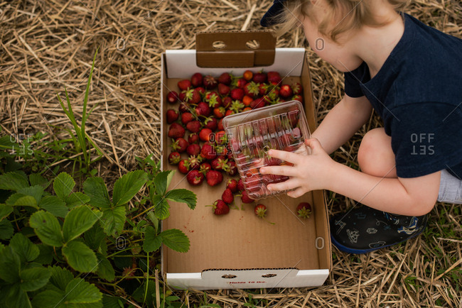 Toddler boy dumping strawberries into a large box while picking them