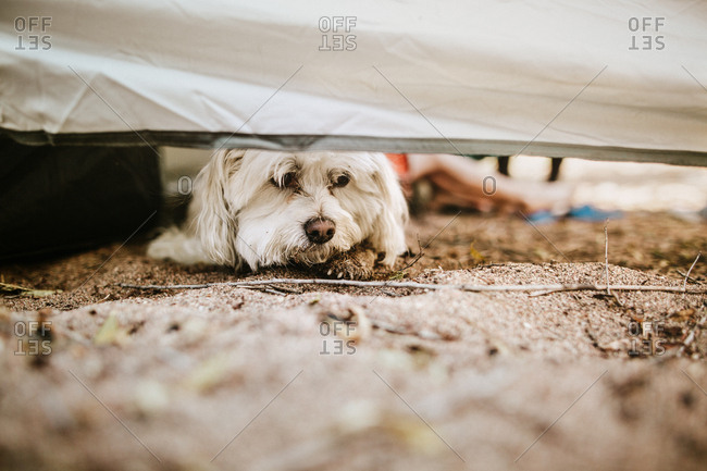 Dog peaking out from under tent