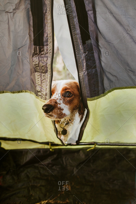 Dog peaking out from tent