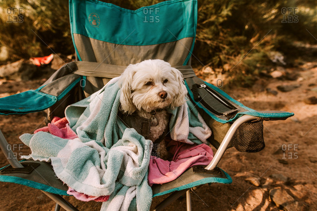Furry white dog sitting on camping chair with towels