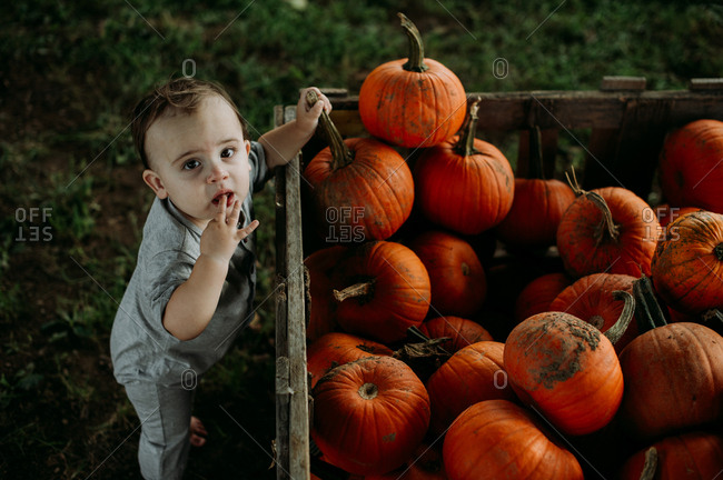 Baby looking for pumpkins at a pumpkin patch