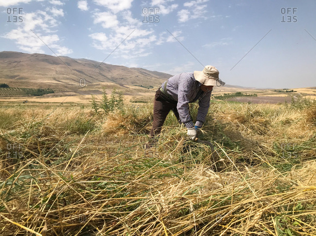 Farmer working in a field with a hand scythe