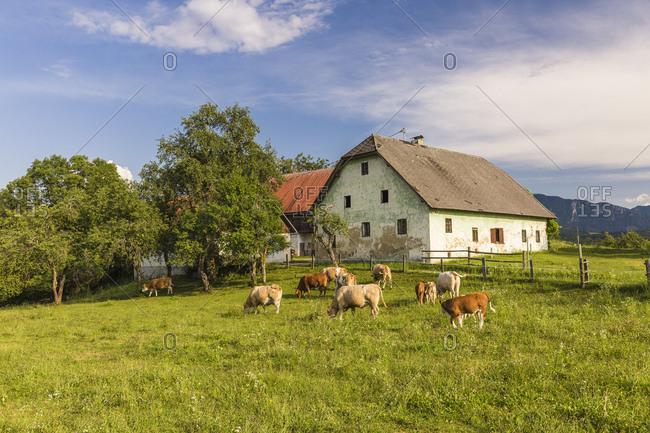 Austria- Carinthia- old farm house and cows on pastue