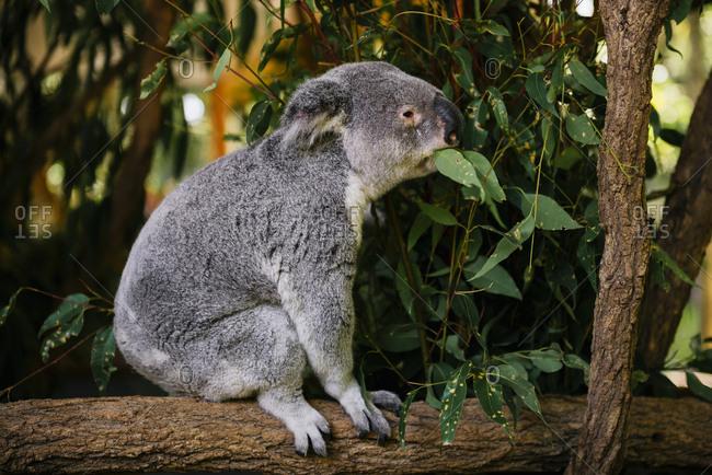 Australia- Brisbane- Lone Pine Koala Sanctuary- koala eating eucalyptus leaves