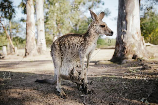 Australia- Brisbane- female kangaroo with baby in pouch