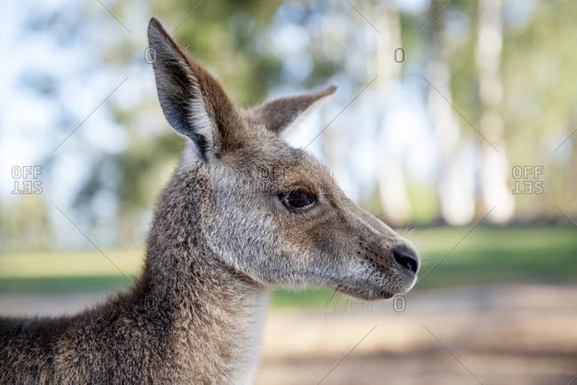 Australia- Brisbane- portrait of kangaroo