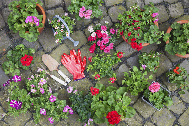 Various potted spring and summer flowers- gardening tools and gloves on cabblestone pavement- top view