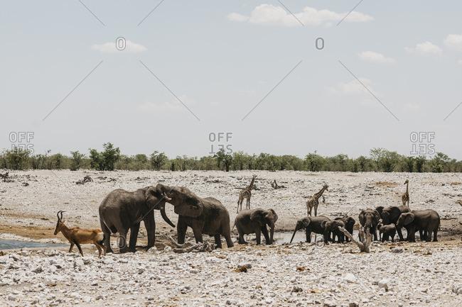 Namibia- Etosha National Park- Elephants- springboks and giraffes at a waterhole