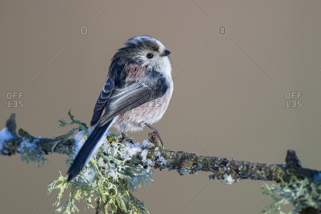 Long-tailed Tit on hoarfrosted  twig