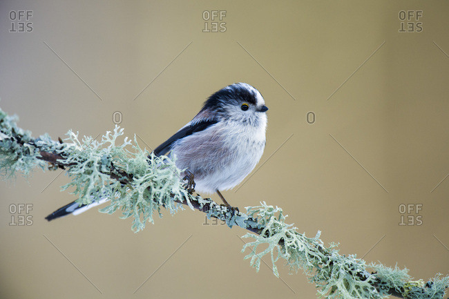 Long-tailed Tit on twig