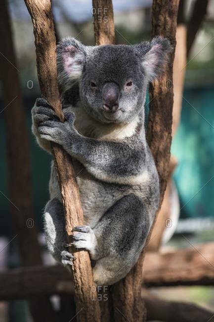 Australia- Brisbane- Lone Pine Koala Sanctuary- portrait of koala clutching tree trunk