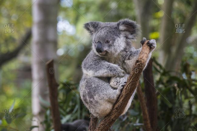 Australia- Brisbane- Lone Pine Koala Sanctuary- portrait of koala perching  on tree trunk