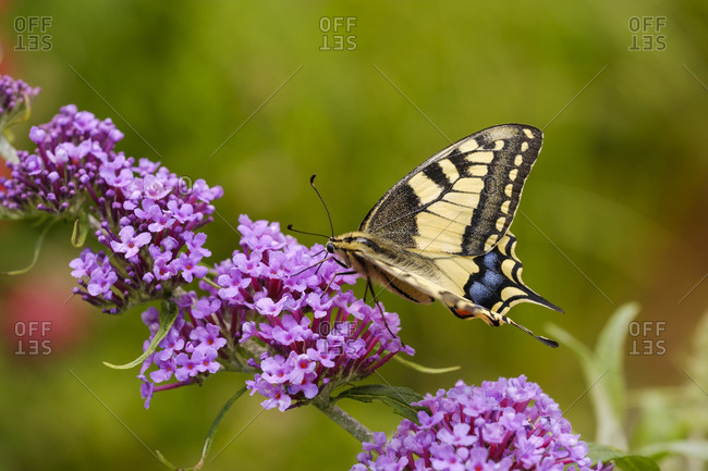 Swallowtail- Papilio machaon- on flower of butterfly bush- Buddleja davidii