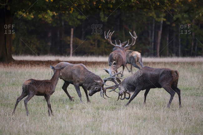 Germany- fighting red deer in a wildlife park during rutting season