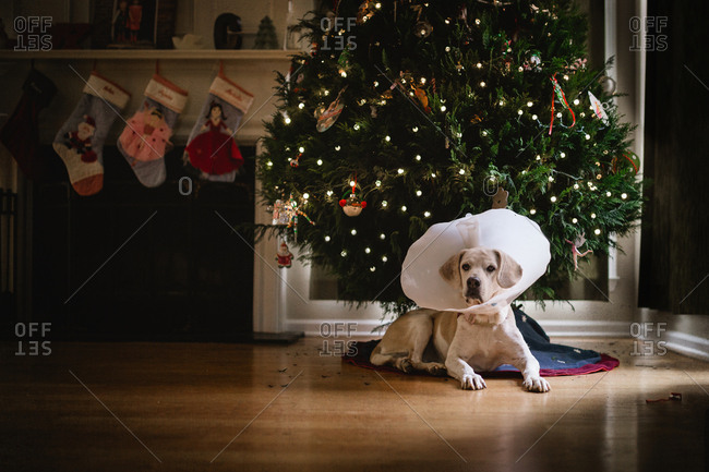 Dog laying under a christmas tree