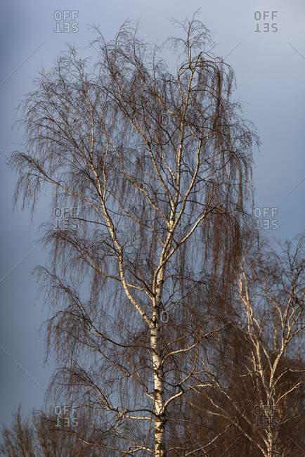 Tall bare tree against blue sky