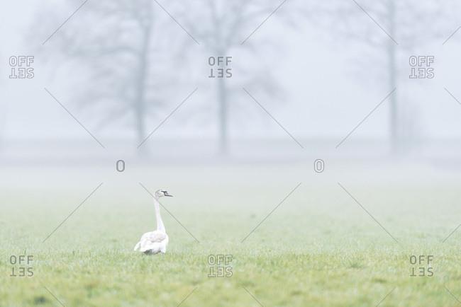 Swan in a foggy field