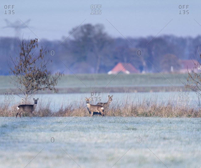 Group of deer in a field in the early morning