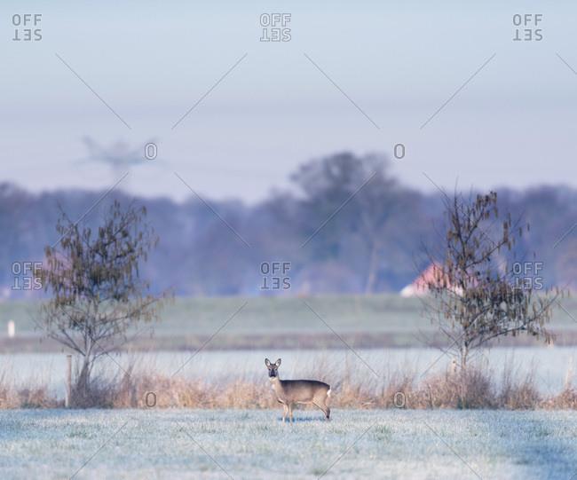 Female deer in a field in the early morning