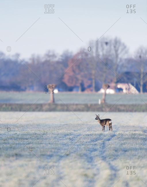 Doe in a field in the early morning