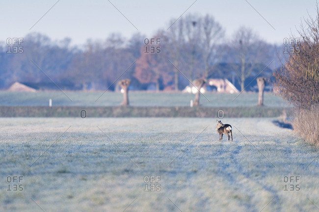 Female deer grooming herself in a field in the early morning