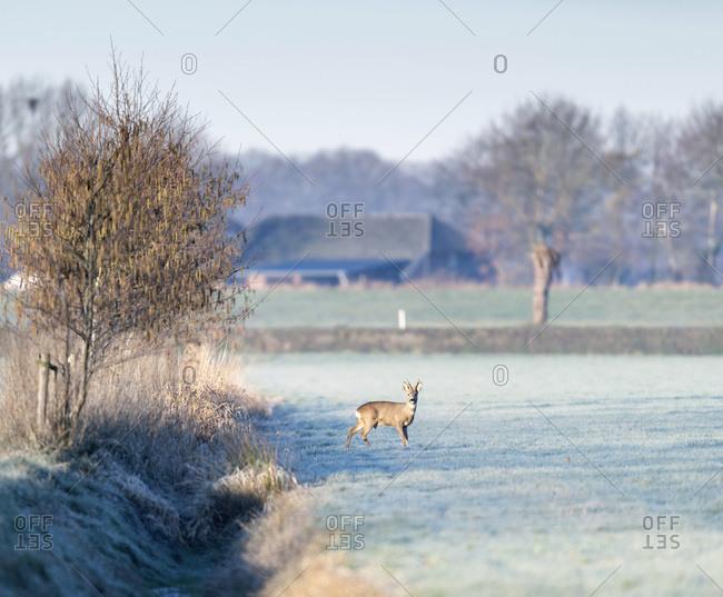 Male deer in a field in the early morning