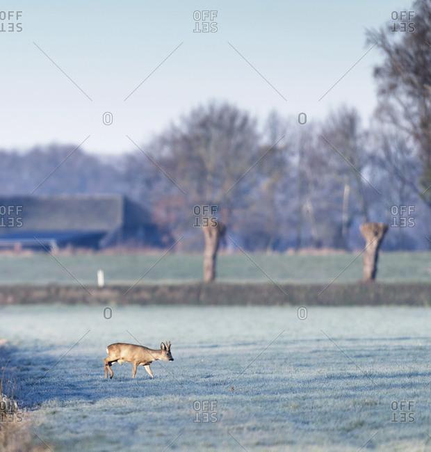 Male deer grazing in a field in the early morning
