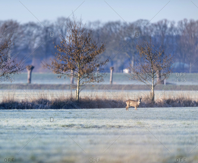 Young buck in a field in the early morning