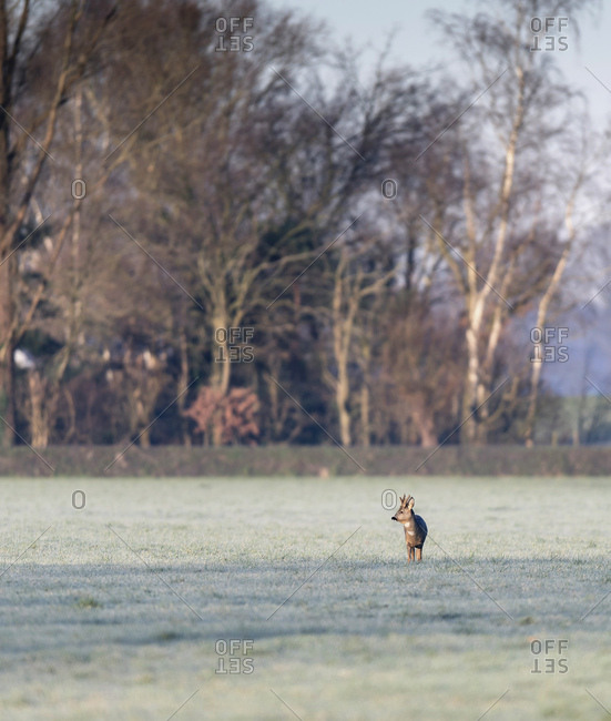 Young buck in a field at dawn