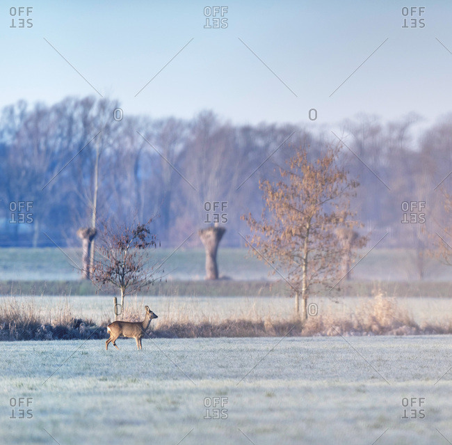 Doe standing in a field in the early morning