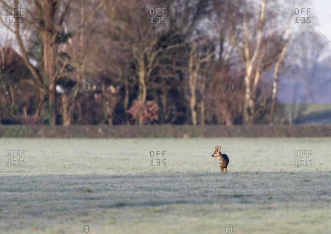 Young buck grazing in a field at dawn