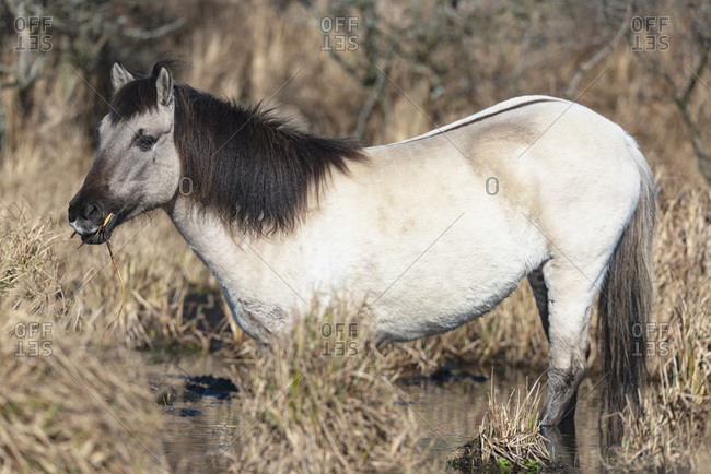 White horse grazing in tall brown grass