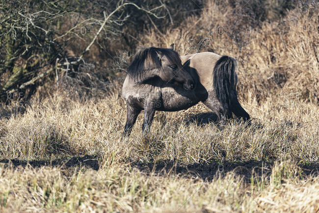 Tan and black horse grazing in tall brown grass
