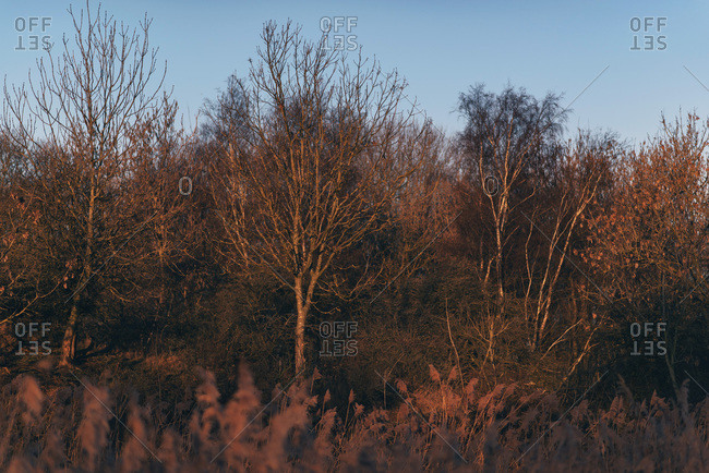 Sunrise glow on bare trees in winter