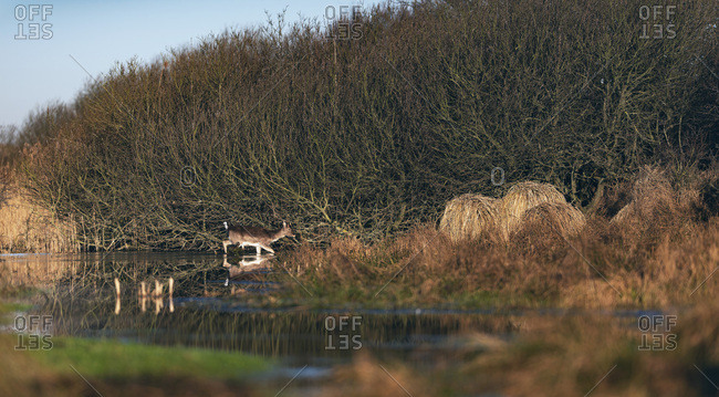Young buck walking through river