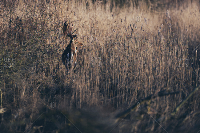 Large buck standing on edge of field