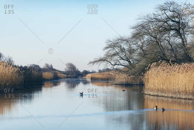 Birds swim on a river surrounded by golden reeds