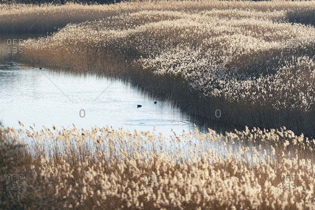 Birds in a lake surrounded by golden reeds