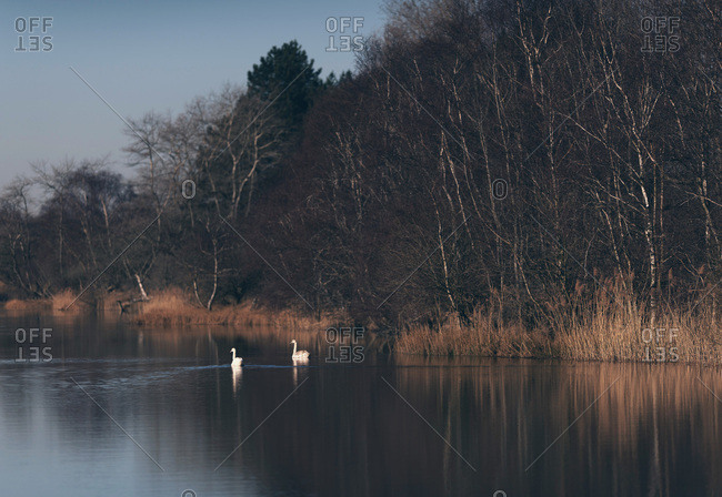 Two swans in a river at dawn