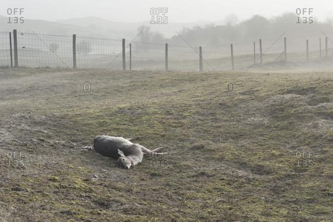 Dead female deer in a field