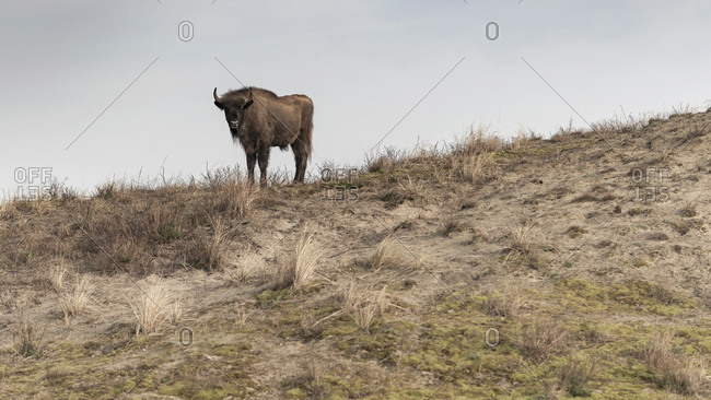 A single European bison on a hill
